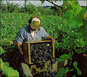 A man harvesting grapes.