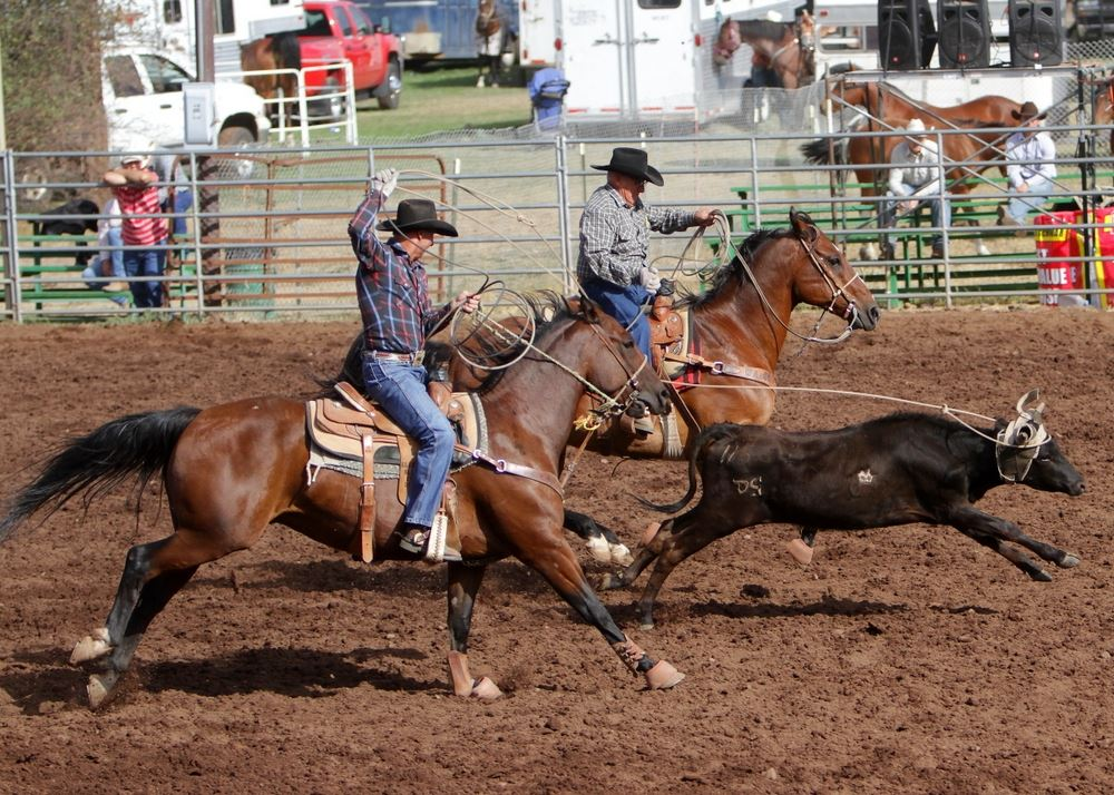 A man lassos the horns of a calf in the arena at the 2014 Klickitat County Fair.