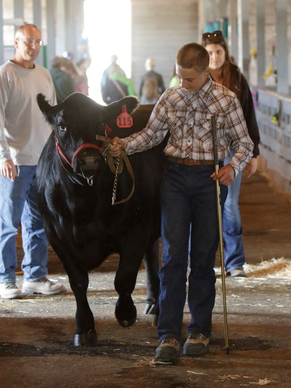 Boy walks out with his cow to the show area.