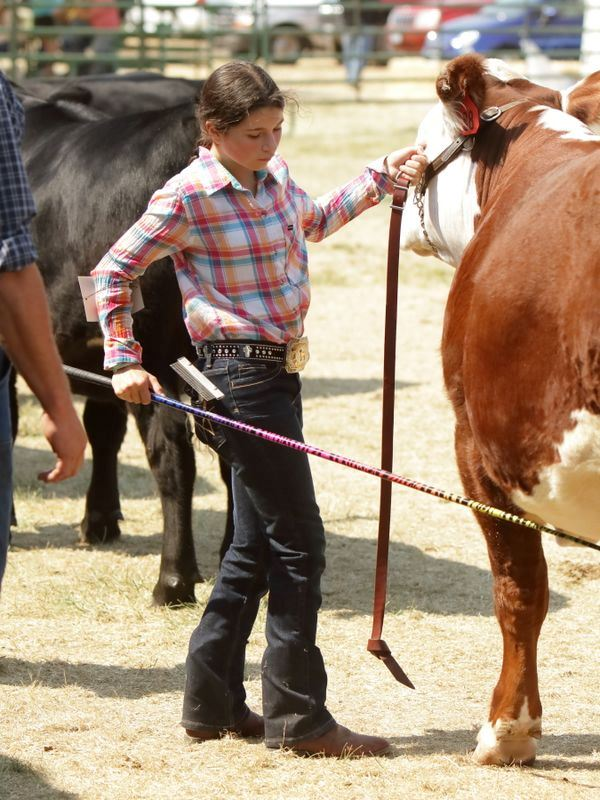A girl shows a cow during the 2015 Klickitat County Fair.