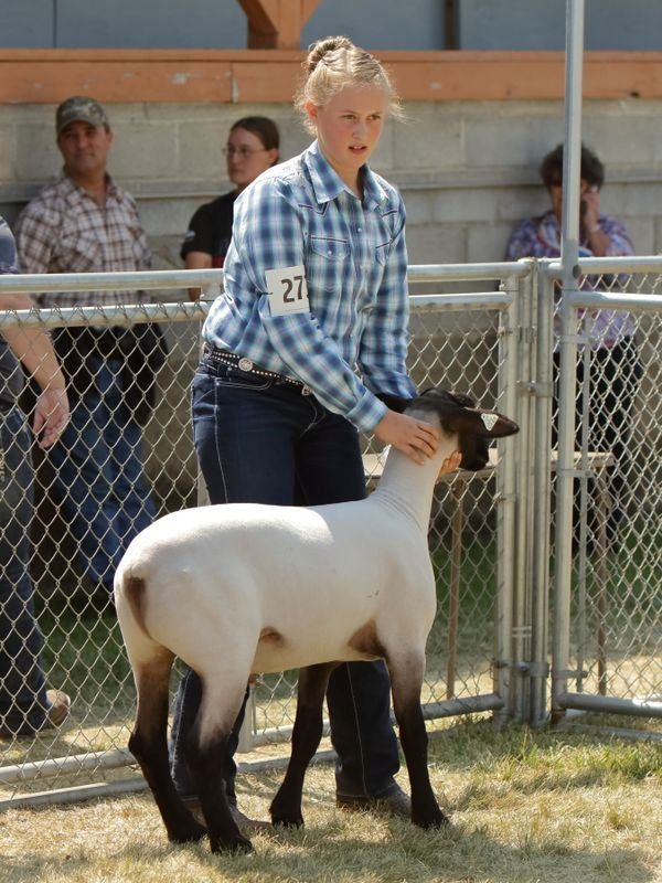 A girl holds her sheep still during the 2015 Klickitat County Fair.