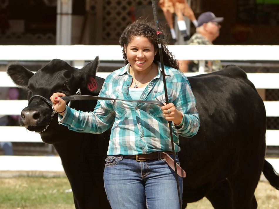 A young woman shows her cow at the 2015 Klickitat County Fair.