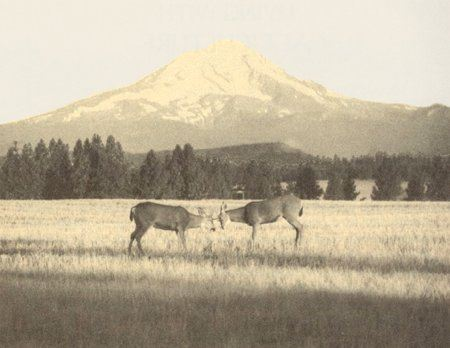 Two bucks use their antlers to spar with a mountain in the distance.